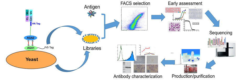 ANEAT-Id: AN's high Efficiency Antibody Technology<br> for Identification/development